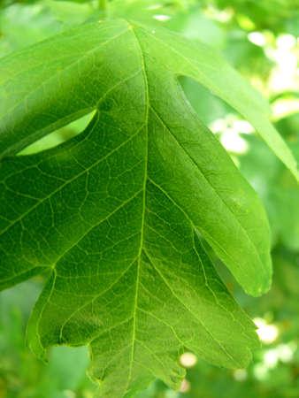 closeup portrait of green leaf Stock Photo - 968382