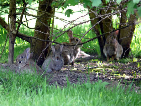 reproducing: portrait of wild rabbit  at their nest Stock Photo