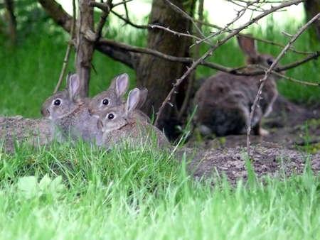 portrait of wild rabbit  at their nest Stock Photo - 1335786