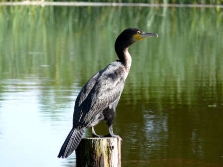portrait of double-crested cormorant (Phalacrocorax auritus)