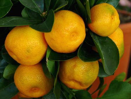 florida citrus: portrait of an orange fruit tree closeup