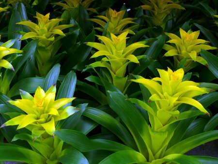guzmania: portrait of Guzmania flower background  Stock Photo