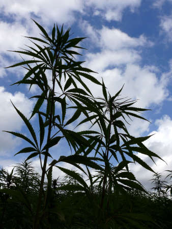 hemp: portrait of industrial hemp field in europe
