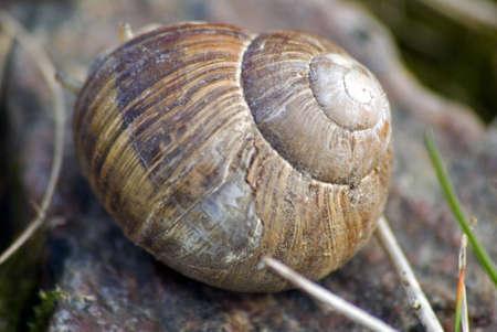 edible snail: portrait of roman snail closeup on shell