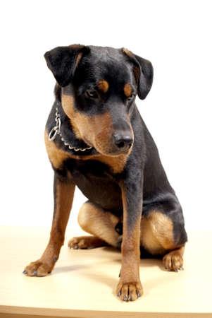 pincher: portrait of 10 mounth old rottweiler pincher dog