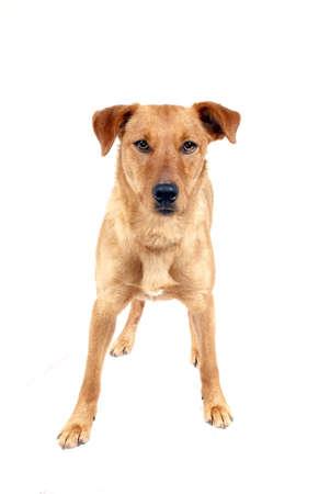 portrait of cute pinscher dog Reklamní fotografie