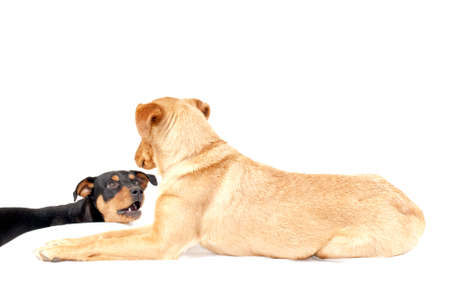 portrait of rottweiler and and pinscher dog together isolated