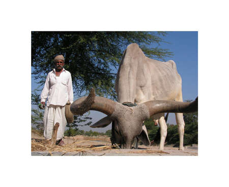 Ahmedabad, Gujarat, India - December 6, 2005 year. Indian old man grazing cattle.
