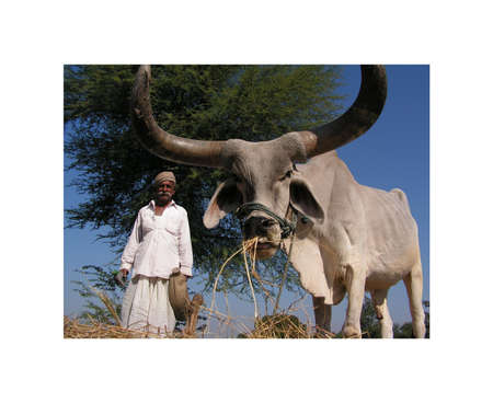 cattle guard: Ahmedabad, Gujarat, India - December 6, 2005 year. Indian old man grazing cattle.