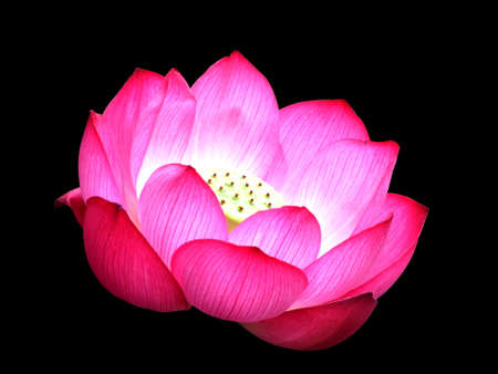 blossom pink water lily on black background with illuminated pistils