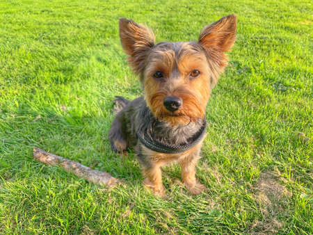 Dear Yorkshire Terrier wants to play