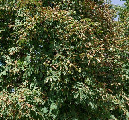 chestnut tree: Full frame shot of Chestnut tree
