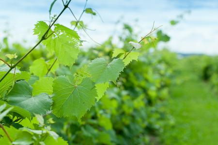 viñedo: Primer plano de planta en la viña Foto de archivo