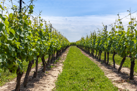 non cultivated land: Diminishing view of vineyard Stock Photo