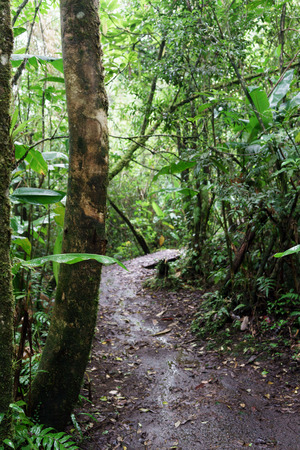 Tree, Wilderness, Outdoors, Day, Central America, Costa Rica, Rainforest, Green, Vertical, Colour Image, Awe, Travel Destinations, Tree Trunk, Dirt Road, Lush, Photography, Forest, Nature, Beauty In Nature, Environment, No People, Growth, Scenics, Tranqui Stock Photo