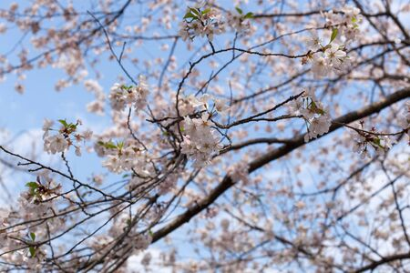 colour image: Outdoors, No People, Tree, White, Horizontal, Day, Springtime, Season, Apple Blossom, Apple Tree, Beauty In Nature, Colour Image, Flower, Fragility, Freshness, Fruit Tree, Growth, Nature, Blossom, Botany, Photography, Differential Focus, Sky, Low Angle Vi