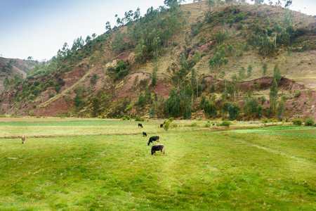 grass area: Animal, Animal Themes, Cattle, Colour Image, Cow, Cusco City, Day, Domestic Animals, Domestic Cattle, Field, Grass, Grass Area, Grazing, Green, Herbivorous, Hill, Horizontal, Landscape, Livestock, Medium Group Of Animals, Mountain, Mountain Range, Nature, Stock Photo