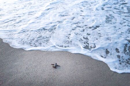 endangered species: Leatherback Turtle, One Animal, Reptile, Tortoise, Animal Themes, Animals In The Wild, Sea Life, Endangered Species, Vulnerability, Wildlife, Young Animal, Environment, Sea Turtle, Turtle, Crawling, Surf, Differential Focus, Elevated View, Beach, Coastlin
