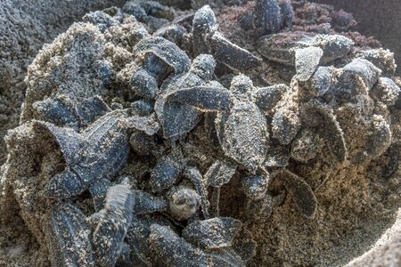 endangered species: Animal Nest, Aquatic, Hatching, Turtles Nest, Zoology, Reptile, Tortoise, Animal Themes, Animals In The Wild, Sea Life, Fragility, Endangered Species, Vulnerability, Wildlife, Young Animal, Environment, Sea Turtle, Turtle, Messy, Large Group Of Animals,