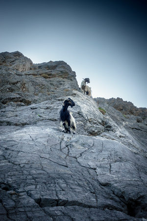 Goat climbing on hill; Crete; Greece Imagens