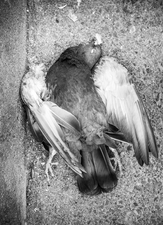 Top view of dead pigeon Crete Greece Europe