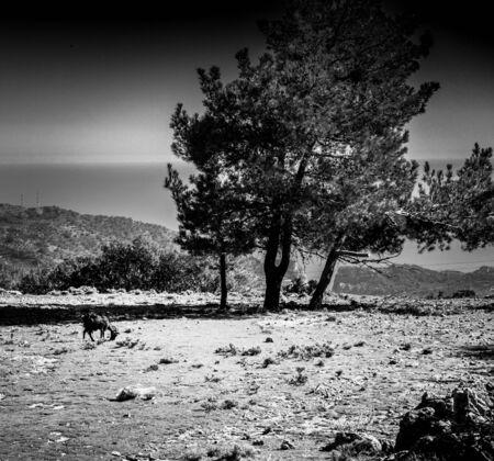 Goat feeding on arid landscape by trees Imagens