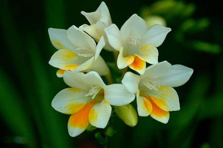 bermuda: Bermuda Flower  Stock Photo
