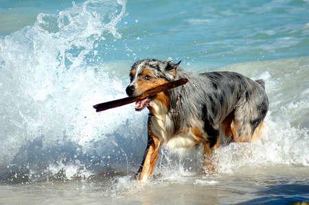 bermuda: Bermuda Dog Playing in Water