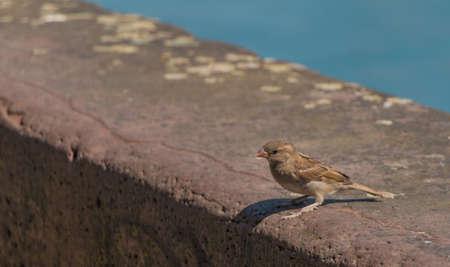 pidgeon: Basel Sparrow