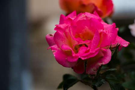 sammarinese: San Marino Flowers I