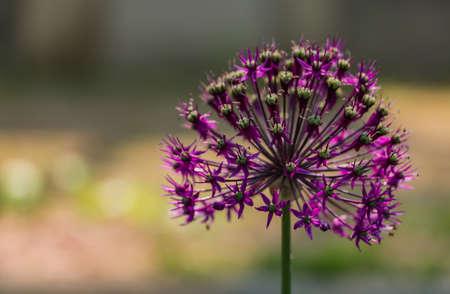rosengarten: Allium in Rosengarten III Stock Photo