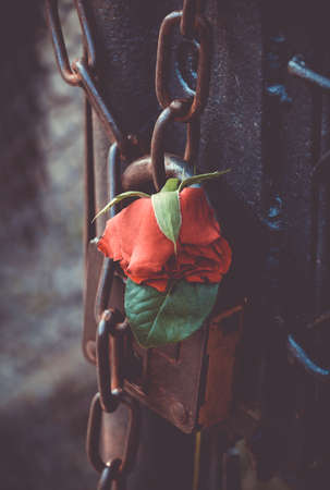 A close-up of a rose placed on a padlock of a gate in Auschwitz I.