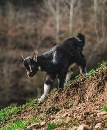 A picture of a goat standing on a slope.