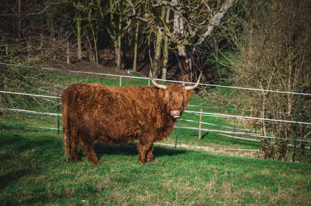 A picture of a highland cow in a grass field.