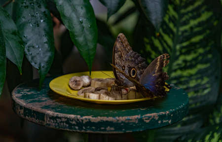 A picture of two butterflies eating fruit in Viennas Butterfly House.