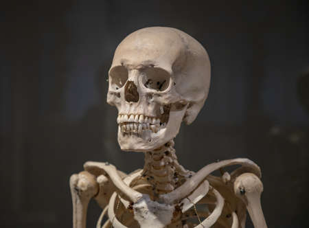A close-up picture of the upper part of a human skeleton.