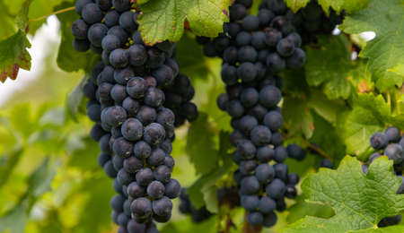 A picture of dark wine grapes on display on a vine.