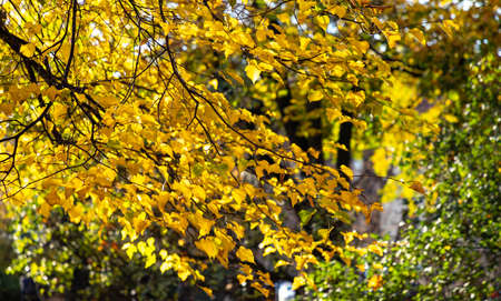 A picture of the yellow tree leaves in the fall (Kraków). 版權商用圖片