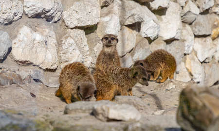 A picture of a group of Meerkats at the Kraków Zoo. Standard-Bild