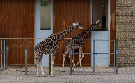 A picture of two Nubian Giraffes at the Kraków Zoo. Standard-Bild