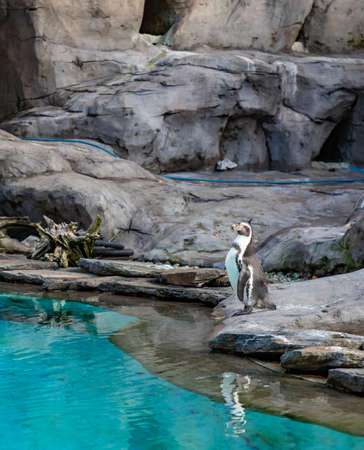 A picture of a Humboldt Penguin at the Kraków Zoo.