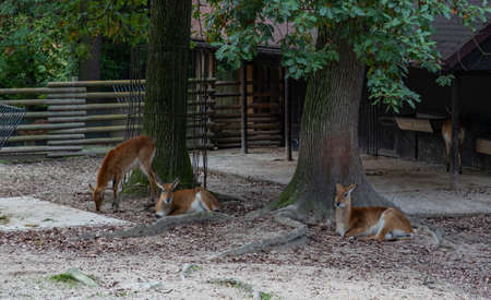 A picture of a group of Lechwes at the Kraków Zoo.