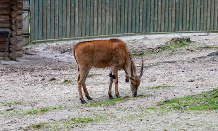 A picture of a Lechwe at the Kraków Zoo.