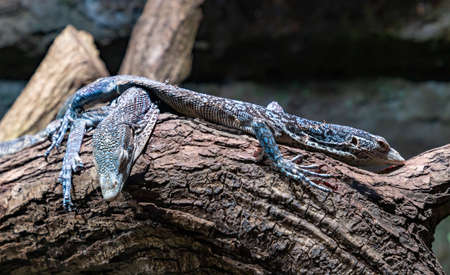 A picture of two Blue Tree Monitors at the Kraków Zoo.