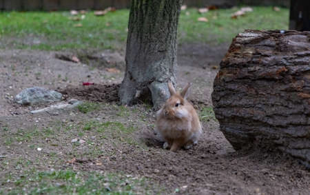 A picture of a Lionhead Rabbit at the Kraków Zoo.