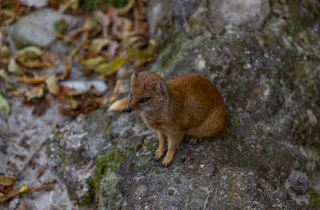 A picture of a yellow mongoose at the Kraków Zoo.