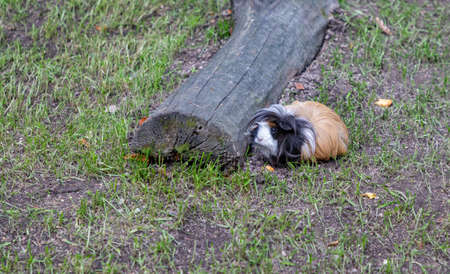 A picture of a Guinea Pig at the Kraków Zoo.