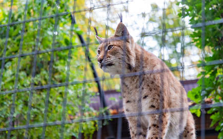 A picture of an Eurasian Lynx at the Kraków Zoo.