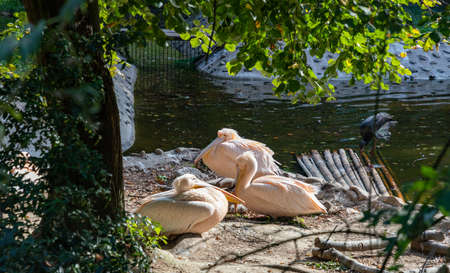 A picture of a group of Pink Pelicans at the Kraków Zoo. Standard-Bild