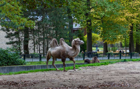 A picture of a Bactrian Camel at the Kraków Zoo.